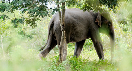 Asian Elephant, from Fauna and Flora International  http://www.fauna-flora.org/species/asian-elephant/