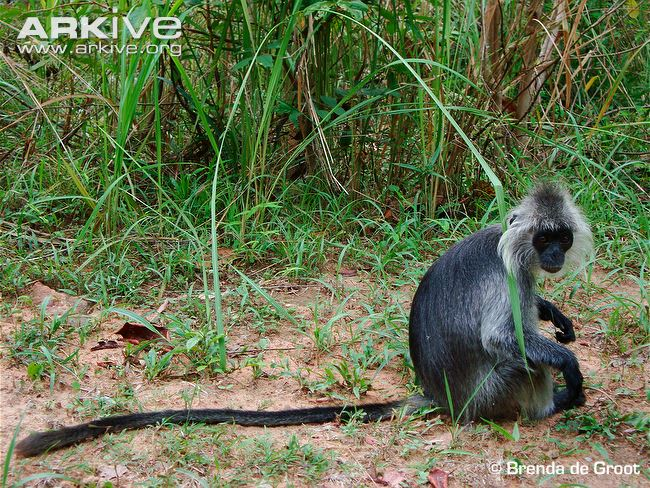 Germains Langur, from http://www.arkive.org/germains-langur/trachypithecus-germaini/