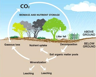 The Carbon Cycle - Trees sequester carbon. http://dapa.ciat.cgiar.org/carbon-sequestration-one-true-green-revolution/
