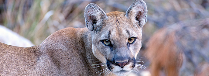Mountain Lion - Big Bend National Park http://www.nps.gov/bibe/learn/nature/mt-lions.htm