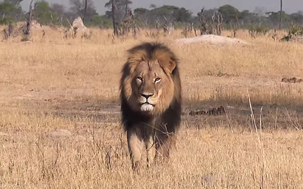 Cecil the Lion. http://www.telegraph.co.uk/news/worldnews/africaandindianocean/zimbabwe/11764395/Zimbabwes-favourite-lion-Cecil-killed-by-hunter-from-North-America.html