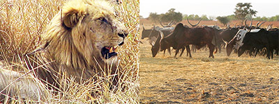 Lion-livestock conflict a reality for local farmers. http://cml.leiden.edu/news/livestock-depredation-lions.html