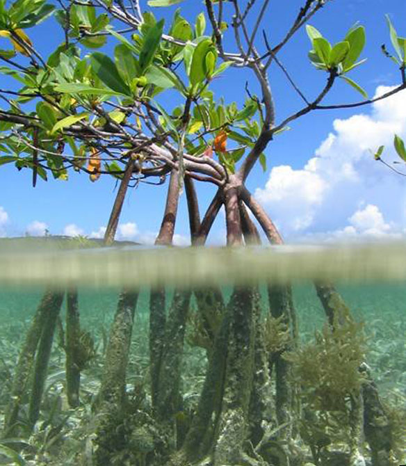 Kate Fuller (Marine Photobank) http://www.grida.no/photolib/detail/young-red-mangrove-tree-in-the-benner-bay-mangrove-marine-sanctuary-virgin-islands_5c521